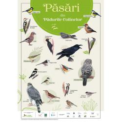 """Poster """"Păsări din pădurile..."""